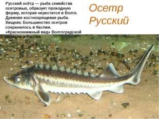Осетр Русский Русский осётр — рыба семейства осетровых, образует проходную фо