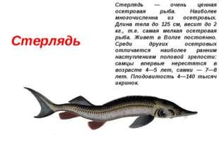 Стерлядь Стерлядь — очень ценная осетровая рыба. Наиболее многочисленна из ос