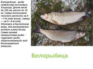 Белорыбица Белорыбица - рыба семейства лососёвых. Хищница. Длина тела до 120