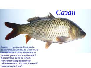 Сазан Сазан — пресноводная рыба семейства карповых. Обычный обитатель Волги.