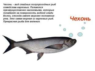 Чехонь Чехонь – вид стайных полупроходных рыб семейства карповых. Питается пр