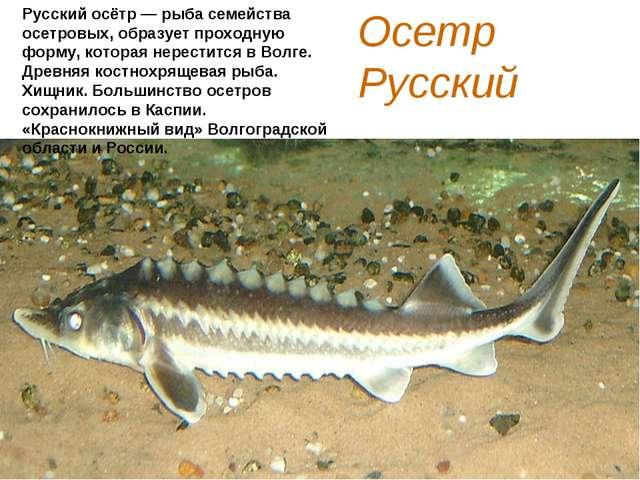 Осетр Русский Русский осётр — рыба семейства осетровых, образует проходную фо...