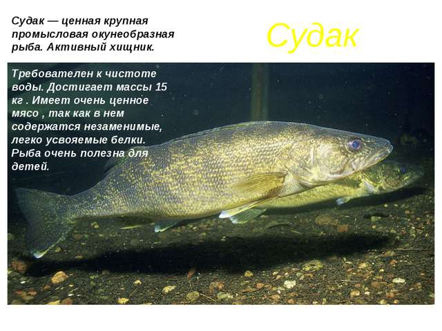 Судак Судак — ценная крупная промысловая окунеобразная рыба. Активный хищник....
