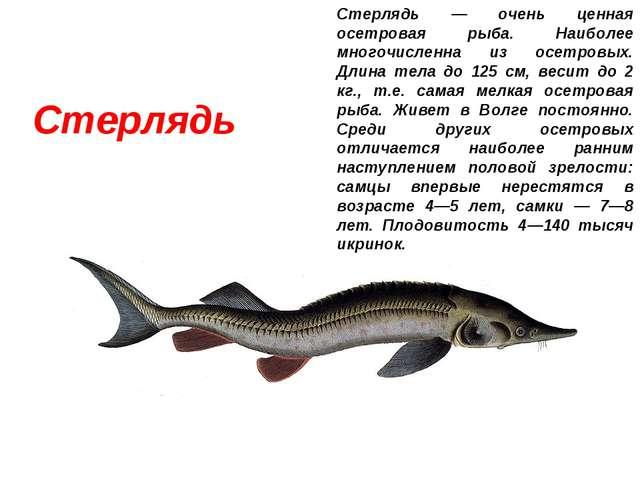 Стерлядь Стерлядь — очень ценная осетровая рыба. Наиболее многочисленна из ос...