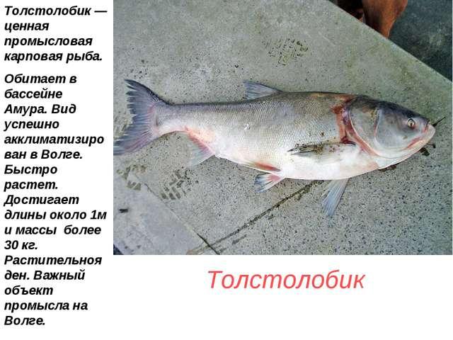 Толстолобик Толстолобик — ценная промысловая карповая рыба. Обитает в бассей...