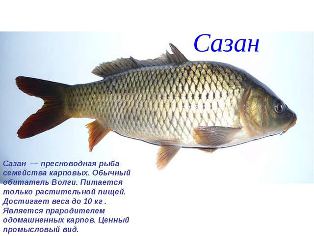 Сазан Сазан — пресноводная рыба семейства карповых. Обычный обитатель Волги....