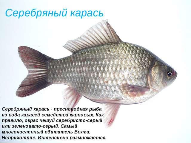 Серебряный карась Серебряный карась - пресноводная рыба из рода карасей семей...