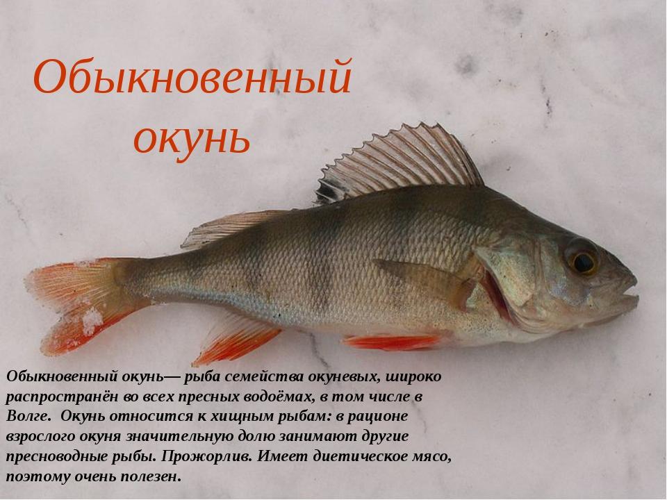 Обыкновенный окунь Обыкновенный окунь— рыба семейства окуневых, широко распро...