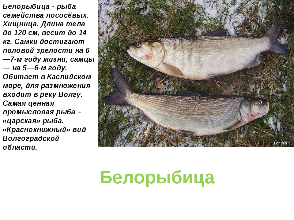Белорыбица Белорыбица - рыба семейства лососёвых. Хищница. Длина тела до 120...