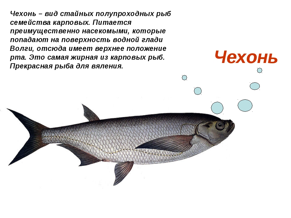 Чехонь Чехонь – вид стайных полупроходных рыб семейства карповых. Питается пр...