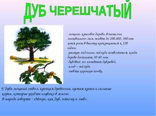 -мощное, красивое дерево, властелин лиственного леса, живёт до 200,400, 500ле