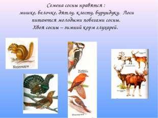 Семена сосны нравятся : мишке, белочке, дятлу, клесту, бурундуку. Лоси питают