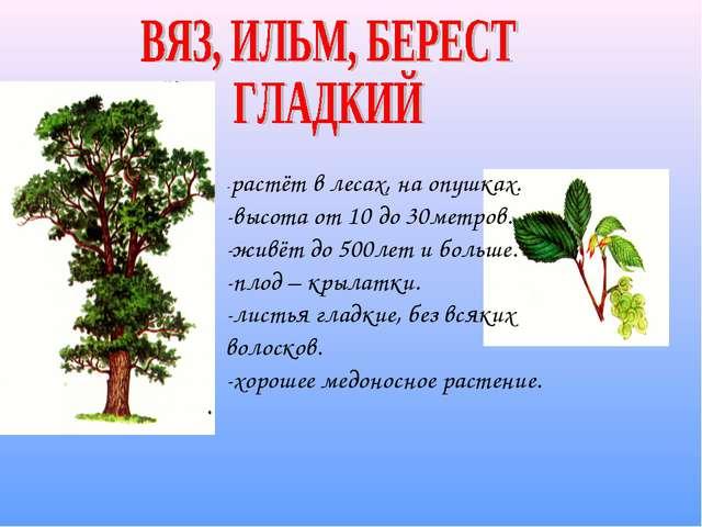 -растёт в лесах, на опушках. -высота от 10 до 30метров. -живёт до 500лет и бо...