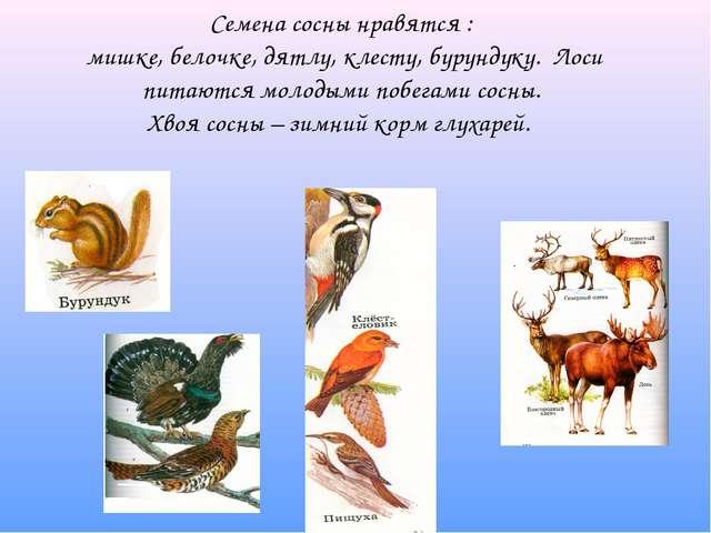 Семена сосны нравятся : мишке, белочке, дятлу, клесту, бурундуку. Лоси питают...