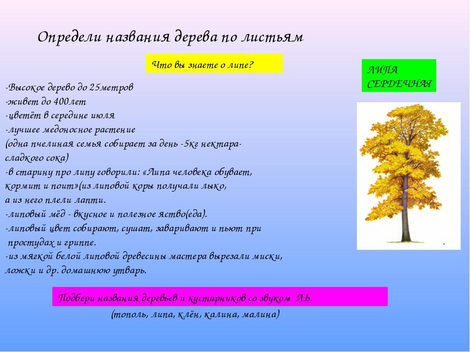 Определи названия дерева по листьям Что вы знаете о липе? -Высокое дерево до...