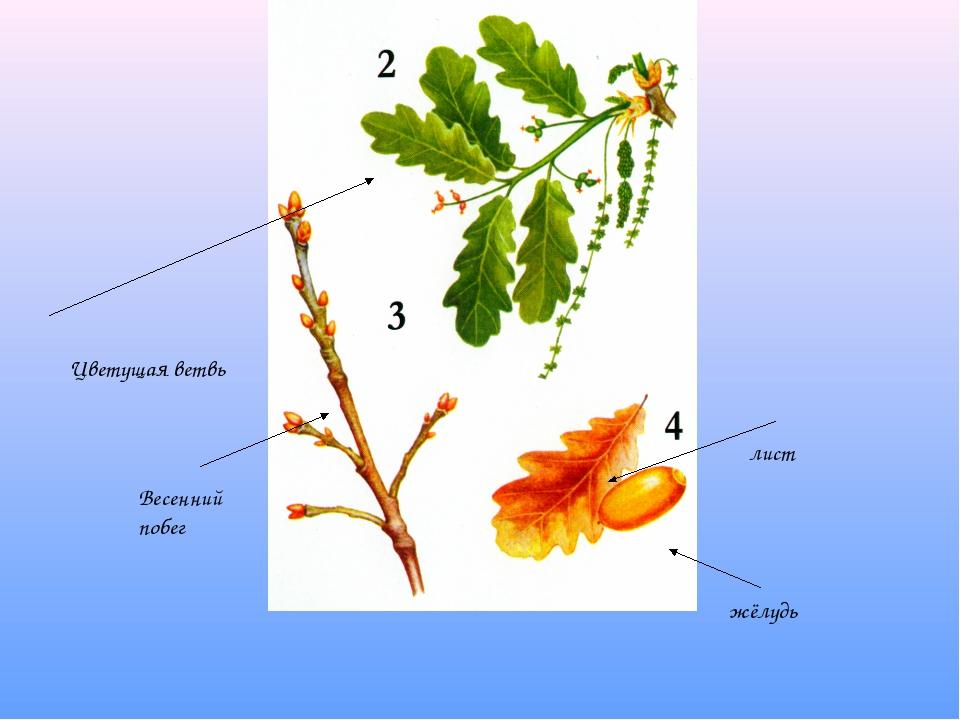 Цветущая ветвь Весенний побег лист жёлудь