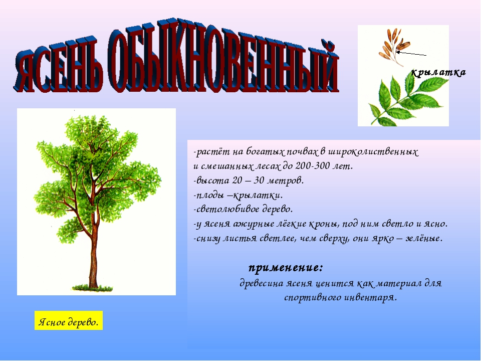-растёт на богатых почвах в широколиственных и смешанных лесах до 200-300 лет...
