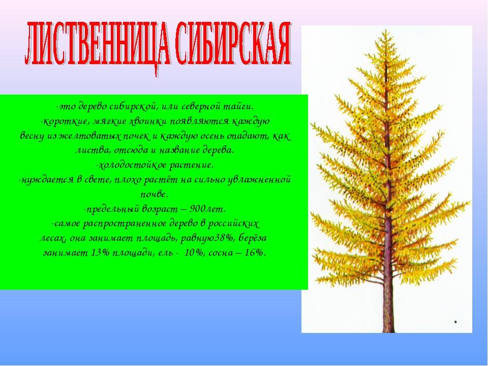 -это дерево сибирской, или северной тайги. -короткие, мягкие хвоинки появляют...