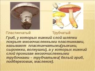 Пластинчатый Трубчатый Гриб, у которых нижний слой шляпки покрыт многочислен