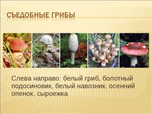 Слева направо: белый гриб, болотный подосиновик, белый навозник, осенний опен