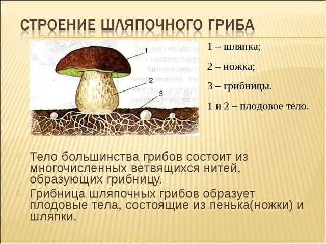 Тело большинства грибов состоит из многочисленных ветвящихся нитей, образующи...