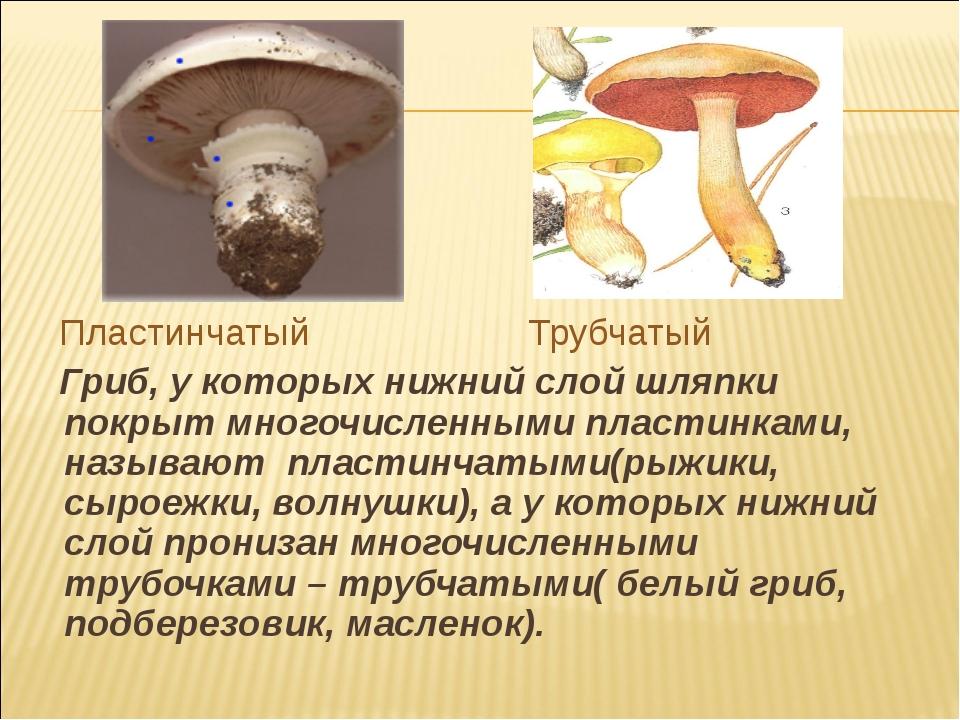 Пластинчатый Трубчатый Гриб, у которых нижний слой шляпки покрыт многочислен...