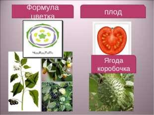 Формула цветка плод Ягода коробочка