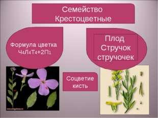 Семейство Крестоцветные Формула цветка Ч4Л4Т4+2П1 Плод Стручок стручочек Соцв