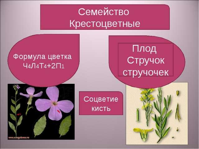 Семейство Крестоцветные Формула цветка Ч4Л4Т4+2П1 Плод Стручок стручочек Соцв...