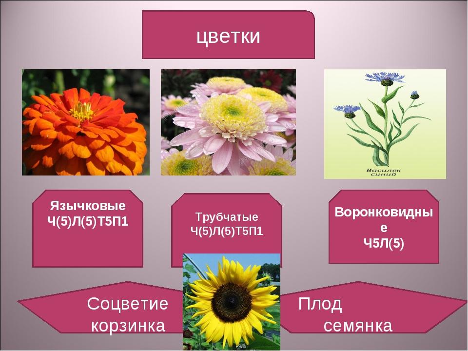 цветки Язычковые Ч(5)Л(5)Т5П1 Трубчатые Ч(5)Л(5)Т5П1 Воронковидные Ч5Л(5) Соц...
