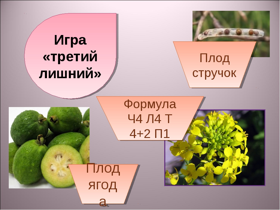 Игра «третий лишний» Плод стручок Формула Ч4 Л4 Т 4+2 П1 Плод ягода