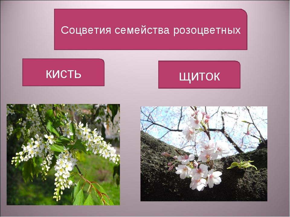 Соцветия семейства розоцветных кисть щиток