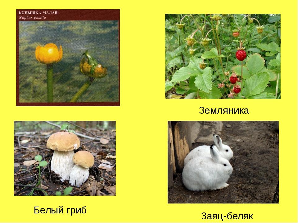 Белый гриб Заяц-беляк Земляника
