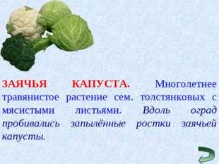 ЗАЯЧЬЯ КАПУСТА. Многолетнее травянистое растение сем. толстянковых с мясистым