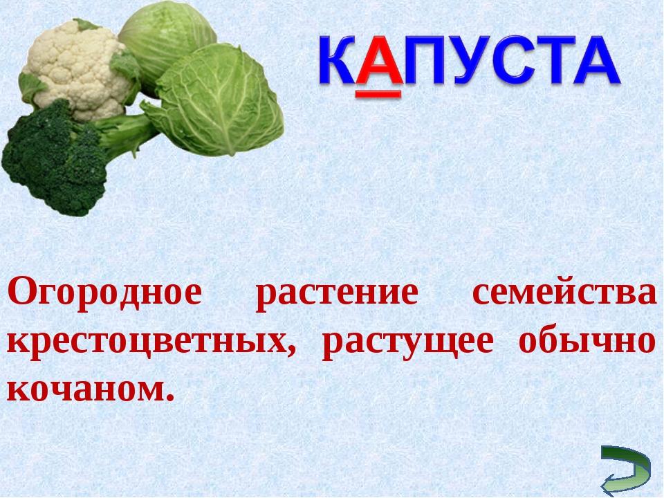 Огородное растение семейства крестоцветных, растущее обычно кочаном.