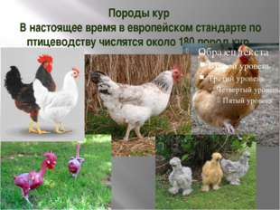 Породы кур В настоящее время в европейском стандарте по птицеводству числятся