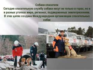 Собаки-спасатели Сегодня спасательную службу собаки несут не только в горах,