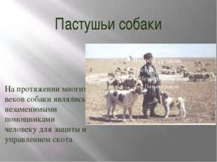 Пастушьи собаки На протяжении многих веков собаки являлись незаменимыми помощ