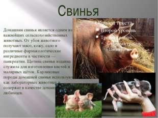 Свинья Домашняя свинья является одним из важнейших сельскохозяйственных живот