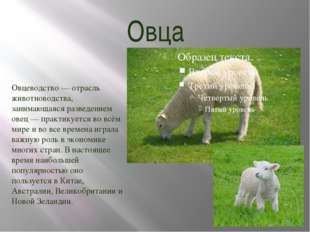 Овца Овцеводство — отрасль животноводства, занимающаяся разведением овец — пр