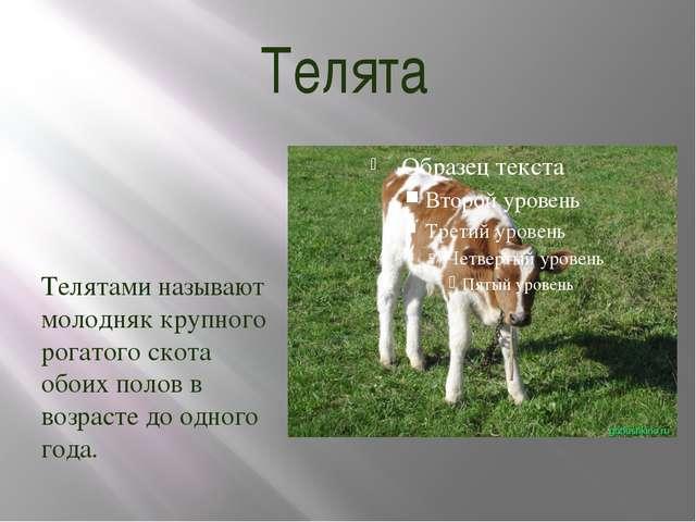 Телята Телятами называют молодняк крупного рогатого скота обоих полов в возра...