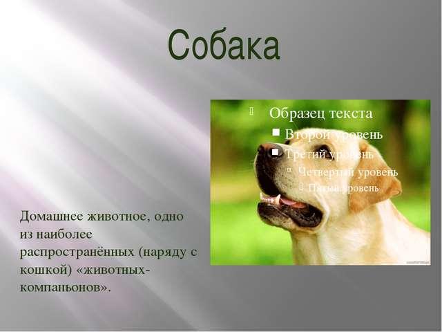 Собака Домашнее животное, одно из наиболее распространённых (наряду с кошкой)...