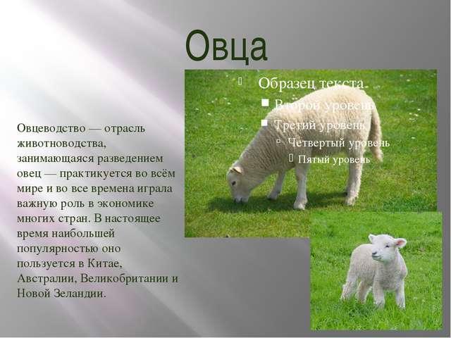 Овца Овцеводство — отрасль животноводства, занимающаяся разведением овец — пр...