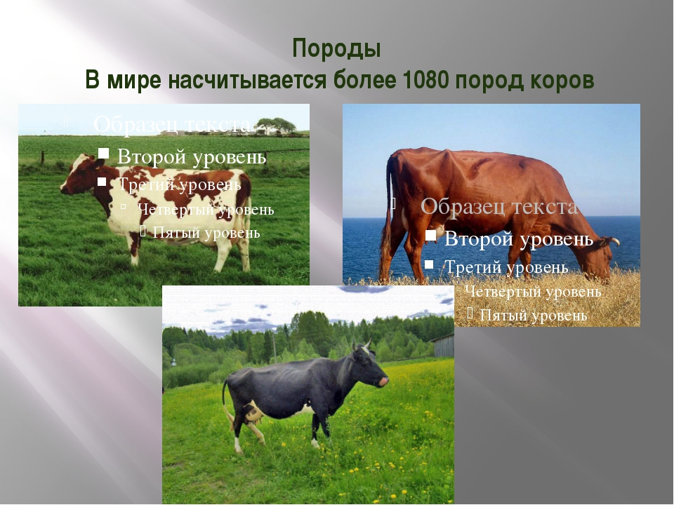 Породы В мире насчитывается более 1080 пород коров