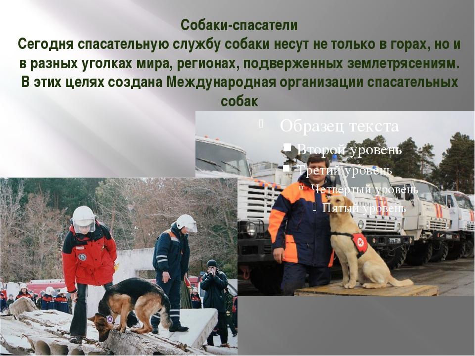 Собаки-спасатели Сегодня спасательную службу собаки несут не только в горах,...