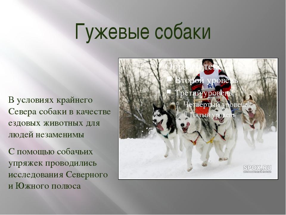 Гужевые собаки В условиях крайнего Севера собаки в качестве ездовых животных...