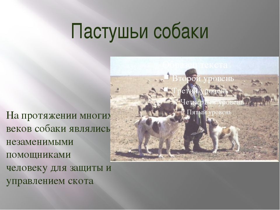 Пастушьи собаки На протяжении многих веков собаки являлись незаменимыми помощ...