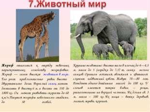 Жираф относится к отряду жвачных парнокопытных, семейству жирафовые. Жираф —