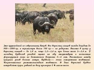 Это крупнейший из современных быков. Вес взрослых самцов иногда доходит до 90