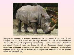 Носорог— крупное и могучее животное. Он не столь велик, как белый носорог,